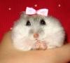 lidiagz - HamsterStory criador de roedores