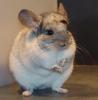 Mandarina73 - HamsterStory criador de roedores