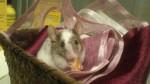 Troya - Ratón Macho (1 año)