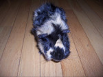 Buddy - Conejillo de Indias Abisinio Macho (2 años)