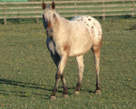 Caballo - Macho (2 años)