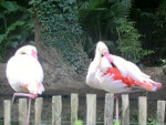 Flamingo flamant rose -  (Acaba de nacer)