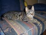 Gato Européen -  EARLY (4 mois) -  (Acaba de nacer)