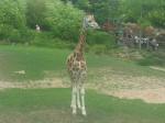 Jirafa girafe -  (Acaba de nacer)