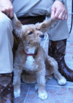 Perro sindy -  (Acaba de nacer)
