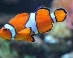 Pescado Nemo - Macho (4 años)
