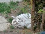 Tigre -