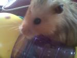 nibbles - Macho (3 años)