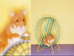 Hamster pelusita -  Macho (1 año)