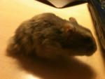 Hamster neige -  Hembra (3 años)