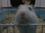 Hamster Trudy -  Hembra (6 meses)
