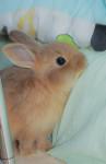 Conejo enano Kenny -  Macho (3 meses)