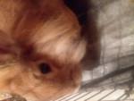 Conejo Candy -  Hembra (Acaba de nacer)
