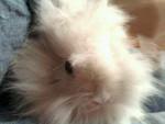 Conejo Pinpin DCD(lapin de ma cousine ) -  Macho (Acaba de nacer)