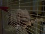 Chinchilla Bob -  Macho (4 meses)