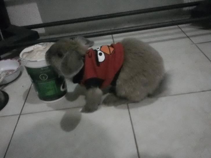 Conejo bolita -  Macho (8 meses)